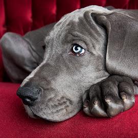 Sad Sack Miles by Jen St. Louis - Animals - Dogs Puppies ( studio, puppy, great dane puppy, great dane, portrait, dog,  )