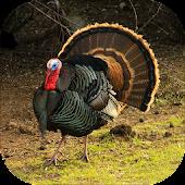Turkey Calling & Turkey Sounds