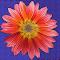 African Daisy alter.jpg