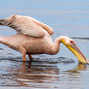 Pelican Feeding by Ada Louw - Animals Birds