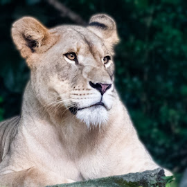 Thinking Lioness by Bert Templeton - Animals Lions, Tigers & Big Cats ( tan, big, lioness, lion lioness, cat, teeth, brown, lion, intelligent )