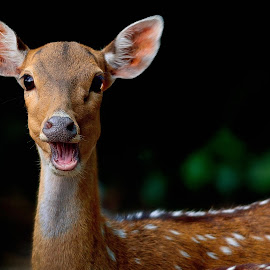 Close up of a deer by Francois Wolfaardt - Uncategorized All Uncategorized ( contrast, spots, macro, nature, brown, eyes, deer,  )