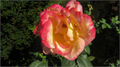 Photo: Trandafir ( Rosa) - de pe Calea Victoriei, Mr.2 - 2017.07.28