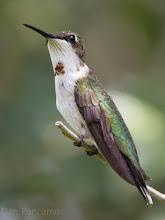 Photo: Ruby Throated Hummingbird - Dos Vacas Muertas Bird Sanctuary
