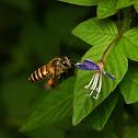 Asian Honey Bee