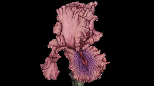 iris vulvaris
