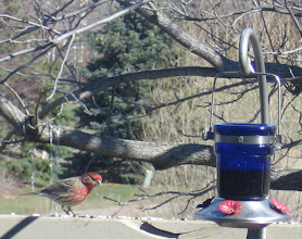 Photo: House Finch in early spring