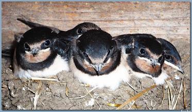 Photo: Rauchschwalbe  Geschwister im Schwalbennest