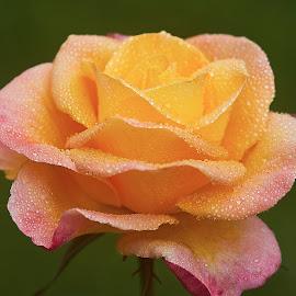 0 Rose 9794~ by Raphael RaCcoon - Flowers Single Flower