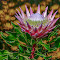 king protea against an orange background (1 of 1).jpg