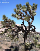 Photo: The Johusa Tree is a plant species belonging to the genus Yucca. Its range is primarily the Mojave Desert between 1,300 and 5,900 ft elevation.