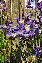 Photo: Clematis 'Blue Pirouette' diversifolia groep