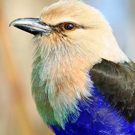 Rollier by Gérard CHATENET - Animals Birds