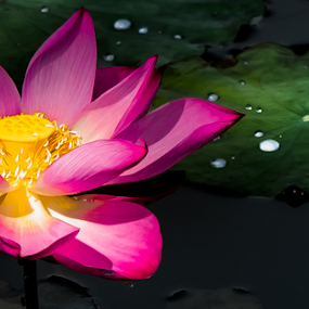 Symbolisms,the Lotus. by Jamaluddin Abdul Jalil - Flowers Single Flower ( religion, aquatic plant, lotus, nature, egyptian, blue, white, water resistant leaves, symbolic, pink, flower )