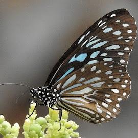 Dark-blue Tiger  by Govindarajan Raghavan - Animals Other (  )