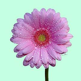 Gerbora n00117 by Gérard CHATENET - Flowers Single Flower