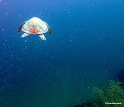 Photo: Turtle swimming through a bait ball