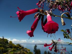 Photo: Cantuta - heilige Pflanze der Inkas, Nationalblume Perus und Boliviens