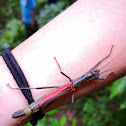 Black-and-red stick insect
