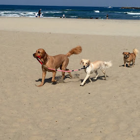 Dogs leading dogs by Moe Cook - Animals - Dogs Running ( water, leash, sand, dogs, leading, funny, ocean, beach, surf, dog )