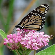 Photo: Monarch (Danaus plexippus) on swamp milkweed, 7.3.09