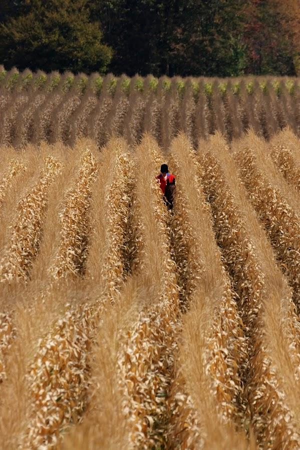 Corn Rows by Adrian Jennings - Landscapes Prairies, Meadows & Fields ( foxhunting, corn, huntsman )