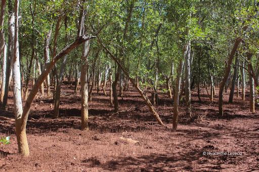Betsiboka mangroves