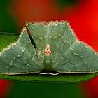 Geometrid Moth or Emerald Moth