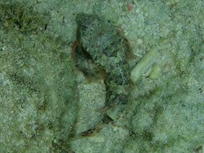 Photo: Synchiropus ocellatus (Scooter Dragonet), Siquijor Island, Philippines