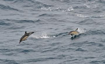 Photo: Delfine in der Cook Strait