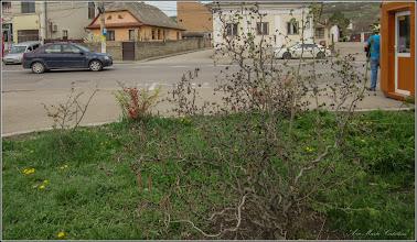 Photo: Turda - Str. Andrei Muresanu - spatiu verde al spitalului, alun  - 208.04.13