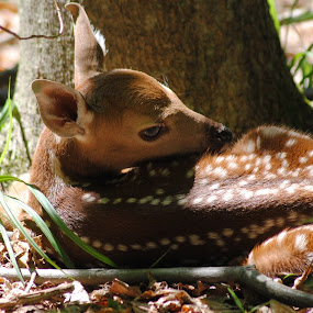Deer Fawn by Eddy Dufault - Animals Other