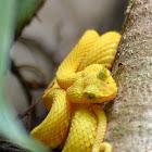 Yellow Eyelash Pit Viper