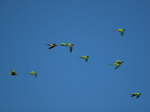 Photo: Superb Parrots in flight (Giralang)