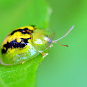 Yellow Tortoise beetle.