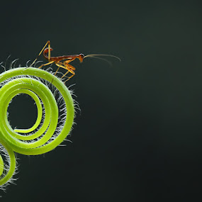 alone  by Angga Putra - Animals Insects & Spiders ( praying mantis )
