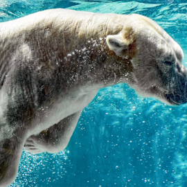 Polar bear underwater by Jackie Nix - Animals Other Mammals ( captivity, habitat loss, polar bear, white, mammal, alaska, zoo, artic circle, marine mammal, climate change, wildlife, field trip, north carolina, predator, swimmer, water, nanook, north america: asheboro, artic, conservation, attraction, blue, carnivore, underwater, bubbles, swim,  )