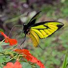 Paradise Birdwing