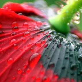 Poppy in the garden by Oleksii Liebiediev - Flowers Single Flower ( poppy flower, close up flower, poppy, poppies, garden, flower,  )
