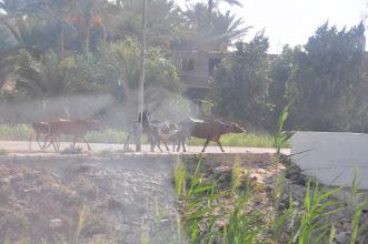 Photo: Egyptian Cattle drive - note water buffalo