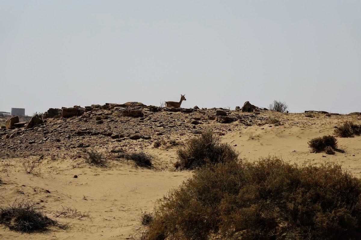 India. Rajasthan Thar Desert Camel Trek. Chinkara - Indian gazelle