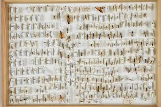 Photo: ZSM-HD-0001540 Various Ichneumonidae indet.