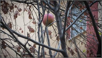 """Photo: Măr (Malus) - """"uitat de lume"""" - de pe Calea Victoriei, Nr.5, spatiu verde - 2017.11.28"""