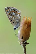 Photo: Argus Bleu, Polyommatus Icarus, Common Blue  http://lepidoptera-butterflies.blogspot.com