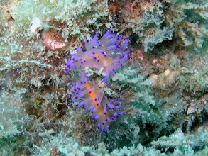 Photo: Hairy Norse God Nudibranches