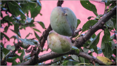 Photo: Prun (Prunus)  - de pe Str. Baladei, Nr.5 - 2017.07.21