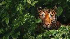 Tiger på spring