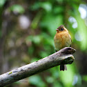 Tuffted Flycatcher