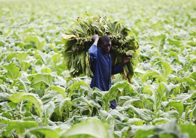 Zimbabwe's tobacco farmers to get half their earnings in US$