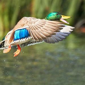 00 Duck 99960~.jpg